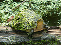 South East Asian Box Turtle (Cuora amboinensis) (7856845294).jpg