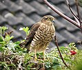 Sparrowhawk Accipiter nisus (37954623086).jpg