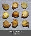 Spergularia marina sl31.jpg
