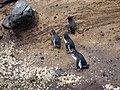 Spheniscus mendiculus -Galapagos -walking-8 (3).jpg