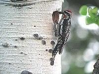 Sphyrapicus nuchalis1