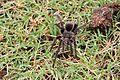 Spider in Arerunguá, Uruguay 2017 002.jpg