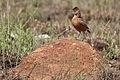 Spike-heeled lark, Chersomanes albofasciata, at Suikerbosrand Nature Reserve, Gauteng, South Africa (22618403026).jpg