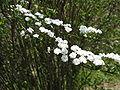 Spiraea prunifolia1.jpg