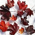 SpitzAhorn Acer platanoides 1.JPG