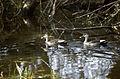 Spotbill Ducks (Anas poecilorhyncha) (20594139330).jpg
