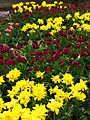 Spring border from tulips 01.JPG