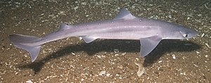 Spiny dogfish (Squalus acanthias) at the Josep...