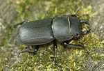 Stag-beetle (Dorcus parallelopipedus).jpg