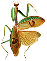 Stagmatoptera supplicaria-01.jpg