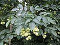 Staphylea pinnata sl7.jpg