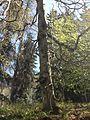 Starý strom v Zámeckém parku Kyselka 4.jpg