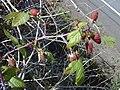 Starr-010423-0050-Rubus glaucus-fruit-Crater Road Kula HNP-Maui (23905603333).jpg