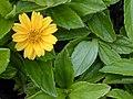 Starr-020127-0034-Sphagneticola trilobata-flower and leaves-Keopuolani dune-Maui (24438112502).jpg