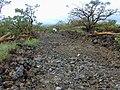 Starr-020422-0119-Bidens pilosa-habitat-Puu o Kali-Maui (24440200942).jpg