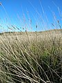Starr-051122-5265-Anthoxanthum odoratum-habit-Haleakala Ranch-Maui (24553926320).jpg