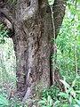 Starr-090623-1474-Mangifera indica-trunk and bark-Nahiku-Maui (24671134650).jpg