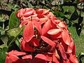 Starr-090806-3958-Ixora sp-flowers-Maui Community College Kahului-Maui (24604042189).jpg