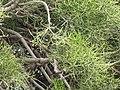 Starr-090806-4077-Euphorbia tirucalli-leaves-Kahului-Maui (24971882585).jpg