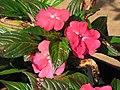 Starr-110215-1216-Impatiens hawkeri-flowers-KiHana Nursery Kihei-Maui (24982542091).jpg