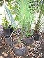 Starr-110215-1381-Cycas circinalis-habit-KiHana Nursery Kihei-Maui (24982892501).jpg