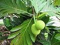 Starr-120606-9587-Artocarpus altilis-fruit and leaves-Kahanu Gardens Hana-Maui (24777515809).jpg