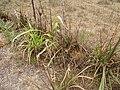 Starr-120608-7247-Cenchrus purpureus-Purple Banagrass planted and deer browsed-Ulupalakua Ranch-Maui (25026860622).jpg
