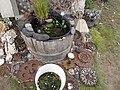 Starr-120608-7328-Myriophyllum aquaticum-water garden and rusty gears-Ulupalakua Ranch-Maui (24514652984).jpg