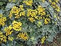 Starr-121108-0673-Ajania pacifica-flowering habit-Pali o Waipio-Maui (25169461676).jpg