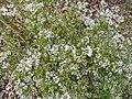 Starr-130504-4390-Coriandrum sativum-flowers-Hawea Pl Olinda-Maui (25117387101).jpg
