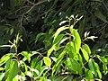 Starr-130702-5490-Syzygium cumini-leaves-Kealia Pond-Maui (24588121914).jpg