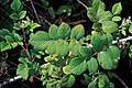 Starr-990119-3224-Rubus niveus-form a leaves-Kula-Maui (24525362955).jpg