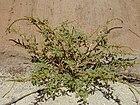 Starr 010818-0019 Amaranthus spinosus.jpg
