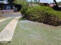 Starr 010822-0060 Dodonaea viscosa.jpg