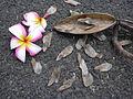 Starr 030612-0083 Plumeria rubra.jpg