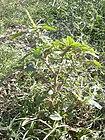 Starr 031108-0242 Amaranthus spinosus.jpg