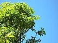 Starr 050216-4064 Pittosporum undulatum.jpg