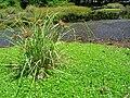 Starr 050717-2811 Cyperus javanicus.jpg
