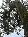 Starr 060429-9492 Tetraplasandra oahuensis.jpg