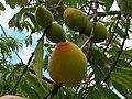 Starr 060615-8178 Prunus persica.jpg