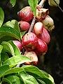 Starr 070321-6136 Syzygium malaccense.jpg