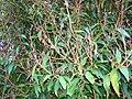 Starr 070604-7246 Syzygium jambos.jpg