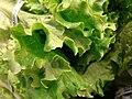 Starr 070730-7906 Lactuca sativa.jpg