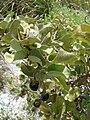 Starr 080605-6685 Solanum nelsonii.jpg
