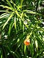 Starr 080609-7919 Thevetia peruviana.jpg