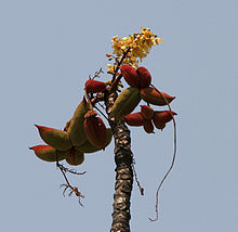 Sterculia villosa flowers & fruit at Jayanti, Duars, West Bengal W Picture 238.jpg