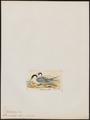 Sterna media - 1820-1860 - Print - Iconographia Zoologica - Special Collections University of Amsterdam - UBA01 IZ17900338.tif