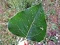 Stigmella trimaculella (Nepticulidae) - (leaf mine), Elst (Gld), the Netherlands - 2.jpg