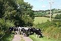 Stockland, herd of cattle - geograph.org.uk - 225268.jpg