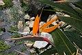 Strelitzia reginae 33zz.jpg
